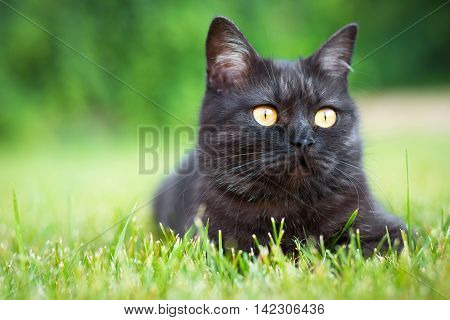 Portrait of black domestic cat lying in the grass