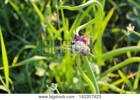 Tree onions topsetting onions walking onions or Egyptian onions ( Allium proliferum )
