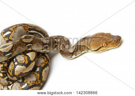 Emperor boa (Boa constrictor imperator) on white
