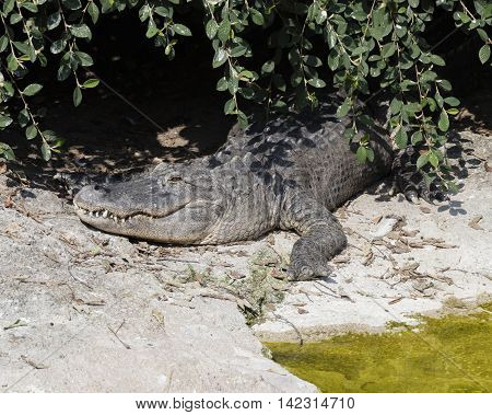 a big ferocious alligator on the river