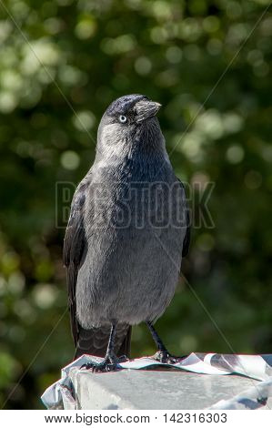 gray jackdaw on stone on a green background