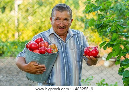 An elderly man with a bucket full of big red tomatoes is standing in the background of green and yellow trees. He is holding a big rape red tomator in his left hand. It looks like he is giving it to you.