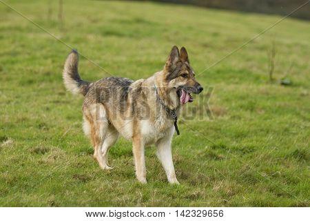 Playful German Shepherd Dog On Grass