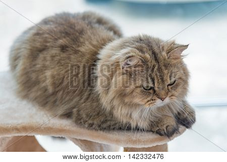 Close up of cute brown tabby persian cat sitting on cat tower in cat cafe.