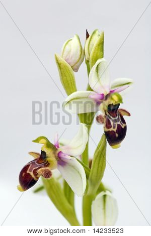 Orchid over grey gradient background - Woodcock Orchid