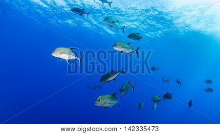 Group of Fish at Islas Revillagigedos, Mexico