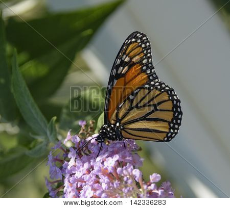 A Monarch Butterfly (Danaus plexippus)  gathering nectar from a Butterfly Bush in Carroll County Maryland, USA.