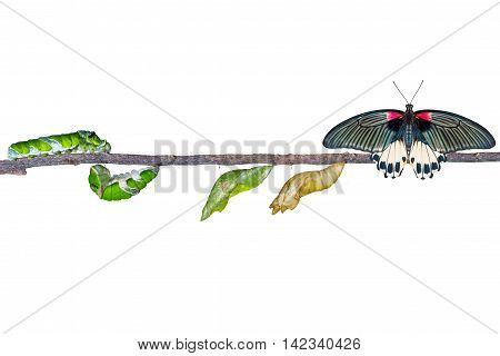 Isolated Life Cycle Of Female Great Mormon Butterfly From Caterpillar