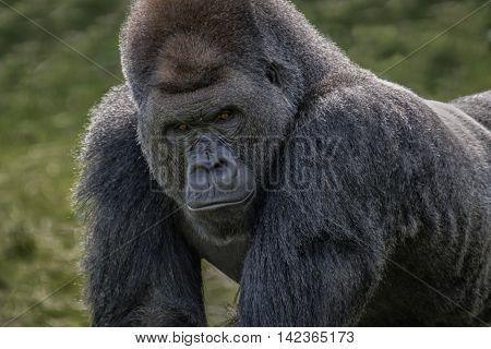Close up head and face image of a silverback gorilla looking menacingly forward towards the camera
