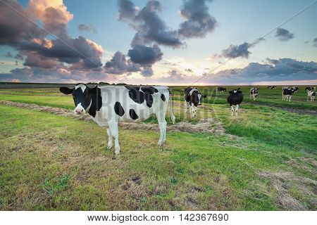 cattle on pasture at summer sunset by Wadden sea Netherlands