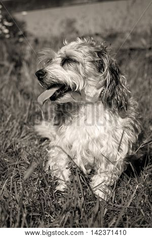 Sweet little fluffy mutt sitting in grass looking left in sepia