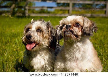 Two sweet little fluffy dogs sitting side by side in green field