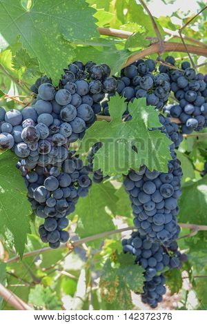 Zinfandel Grapes, Leaves, and Vines: close-up shot of a large cluster of Zinfandel Grapes, hanging from the vine
