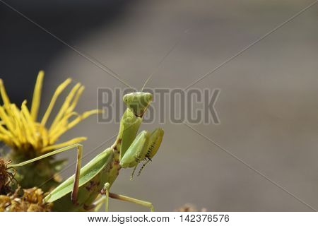 The Female Mantis Religios. Predatory Insects Mantis