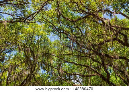 Canopy of old live oak trees draped in spanish moss. Savannah Georgia USA