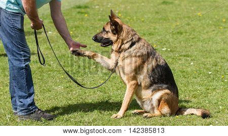Owner training his pet dog a German Shepherd who is sitting down and giving his paw