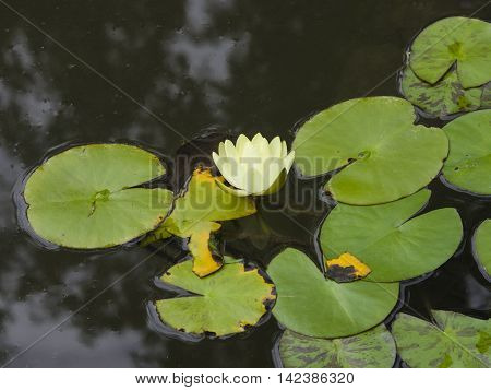 European White Waterlily Water Rose or Nenuphar Nymphaea alba flower with floating leaves macro selective focus