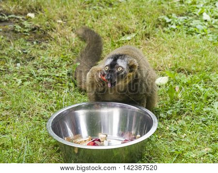 Funny photo of red-fronted lemur Eulemur fulvus rufus eating sweet bell pepper from metal bowl. Close-up portrait selective focus shallow DOF.