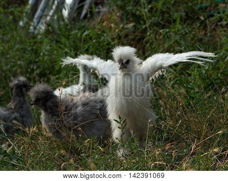 White fluffy chick - young rooster silkie chicken at the age of 3 months - spread its wings and trying to fly. Selective focus shot outside in natural light.