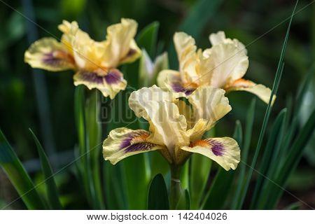 Close look at cluster of beautiful dwarf bearded irises