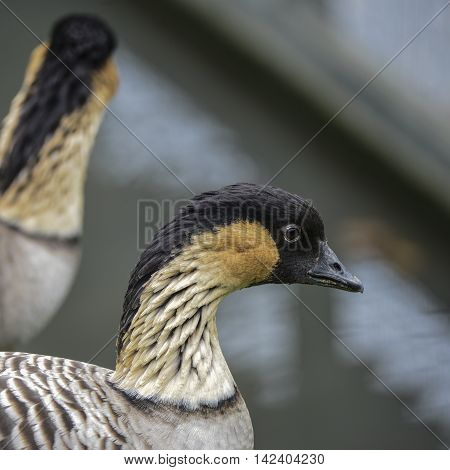 Lovely Portrait Of Hawaiian Goose Nene Branta Sandvicensis Bird
