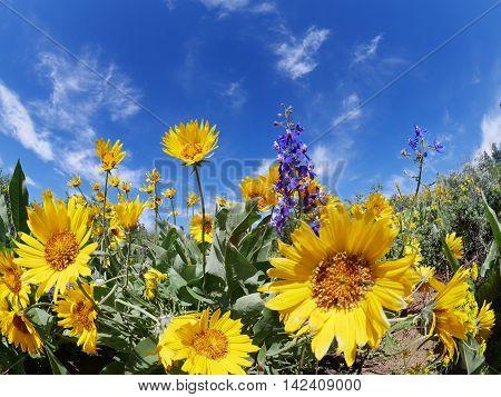 Sun flowers and blue sky. Patterson Mountain near Winthrop Washington USA. North Cascades National Park.