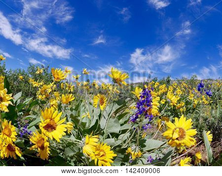 Arnica wildflowers at Patterson Mountain near Winthrop Washington USA. North Cascades National Park.