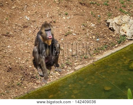JERUSALEM ISRAEL - MAY 8: Mandrill Monkey or Mandrillus sphinx in Biblical Zoo in Jerusalem Israel on May 8 2016