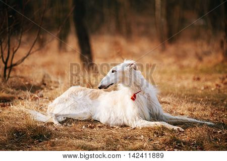 White Russian Wolfhound Dog, Borzoi, Russian Hunting, Sighthound, Russkaya Psovaya Borzaya, Psovoi.