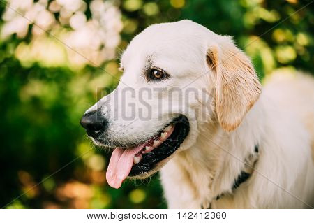 The Portrait Of Staring Head Muzzle In Profile Of Yellow Golden Labrador Retriever  Dog Or St. John's Water Dog With Ajar Jaws, Tongue.  Boke Bokeh Green Nature Background. poster