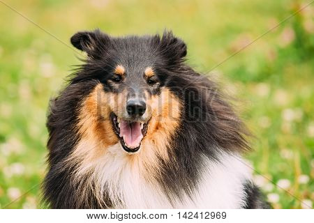 Close Portrait Of Funny Staring Tricolor Rough Collie, Scottish Collie, Long-Haired Collie, English Collie, Lassie Adult Dog With Ajar Jaws, Tongue.