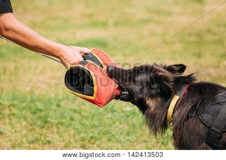 The Scene Of Training Of Purebred Long-Haired German Shepherd Adult Dog Or Alsatian Wolf Dog. Attack And Strong Grip To Training Glove Of Trainer.