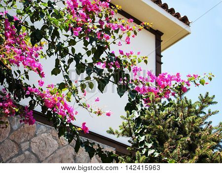 Bougainvillea Bush With Pink Flowers
