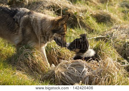 German Shepherd Dog With Collie Puppy