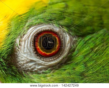 Close up shot of parrot eye it is a Green Amazon parrot with a yellow head. Yellow Crowned Amazon.