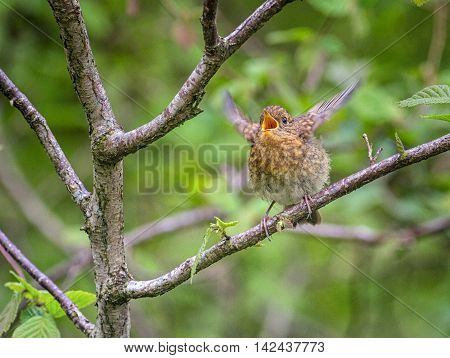 Juvenile European Robin Begging For Food