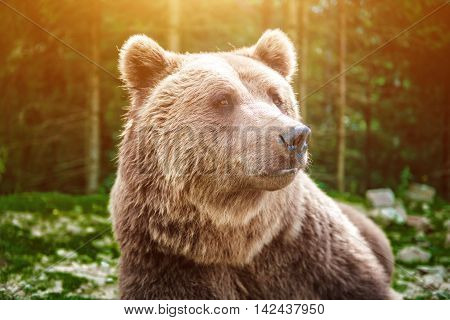 A close up shot of a wild big male brown bear in colorful early morning light carefully watching surroundings