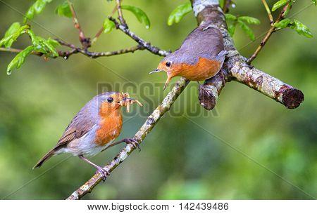 Male European Robin Feeding His Mate