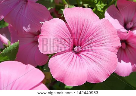 Pink garden flower of lavatera with pistil