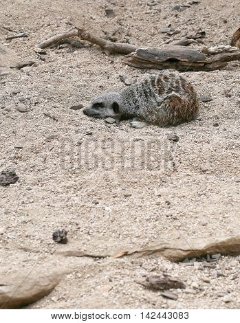 Meerkat Suricata Suricatta Sleeping