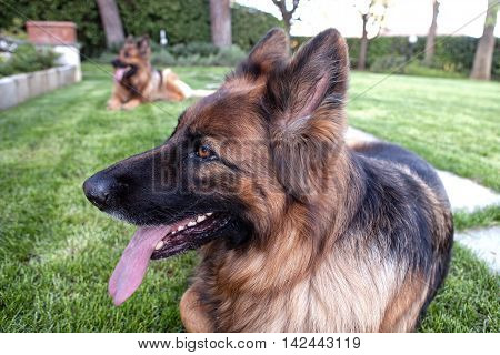 two german sheperd laying in the garden