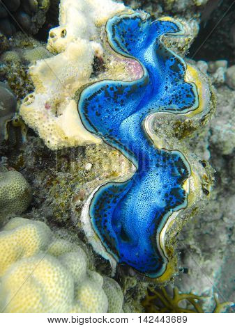 Blue Giant Claim ready for hunting in tropical sea