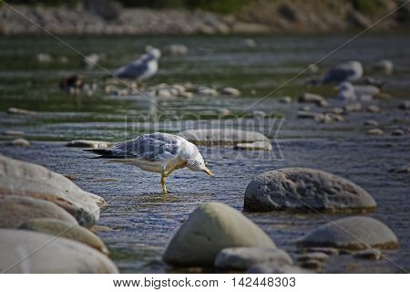 Seagull cleans feathers In the hot afternoon bird resting in the shallow waters by fly and the heat