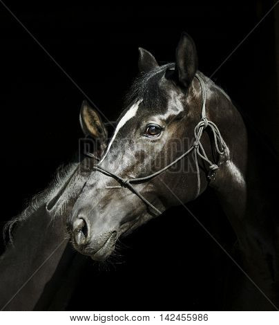 two black horses with a white blaze on the head with halter are standing next to each other on a black background