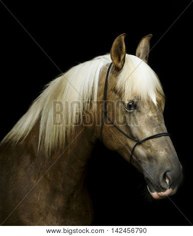 light brown horse in a halter with a white mane on a black background