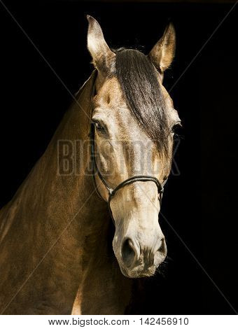 light brown horse in a halter with a dark mane on a black background poster