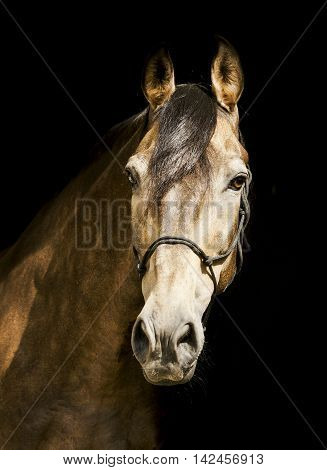 light brown horse in a halter with a dark mane on a black background