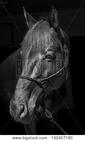 black horse in a halter and a dark mane and a white blaze on his head on a black background