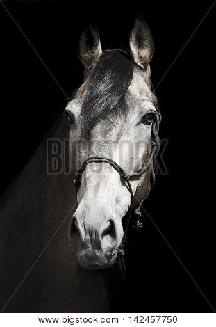 black horse in a halter and a dark mane and a white blaze on his head on a black background poster