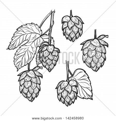 Hand Drawn Vector Illustration - Hops Plant. Perfect For Malt, Ale, Lager, Stout, Labels, Packaging